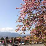 松田の河津桜を見に行ってきました♪