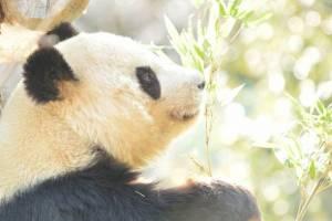 上野動物園のパンダのイメージ