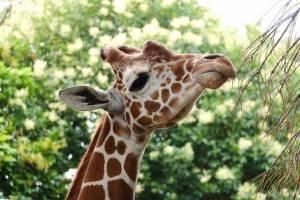 野毛山動物園のキリンのイメージ