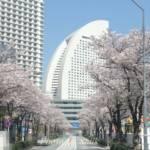 横浜みなとみらい21「さくら通り」の桜を見てきたよ~♪