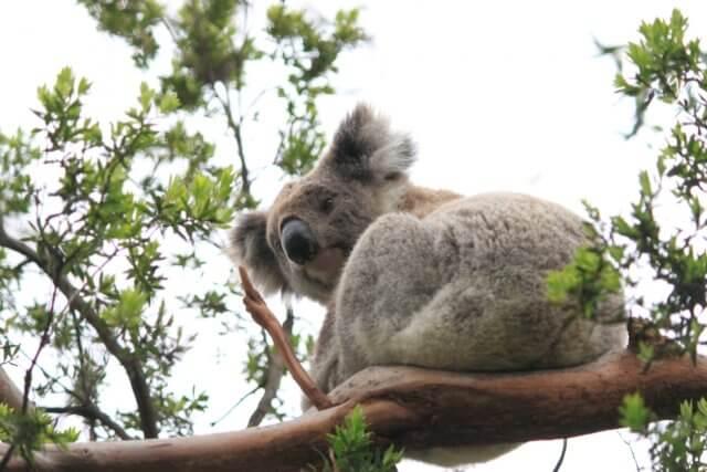 オーストラリアのコアラのイメージ