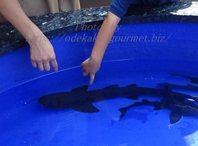 油壺マリンパークサメにタッチ