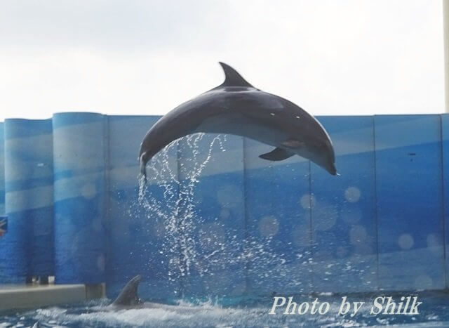 新江ノ島水族館・イルカのショー