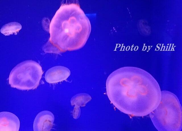 新江ノ島水族館・クラゲ