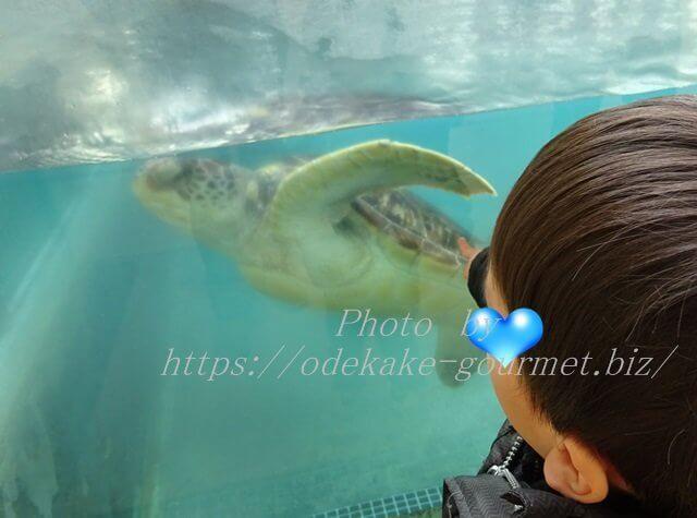 新江ノ島水族館・ウミガメ