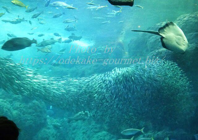新江ノ島水族館・マイワシの群れ
